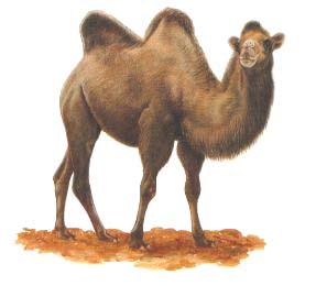 Une histoire vraie m diter et retenir - Dessin de chameau ...